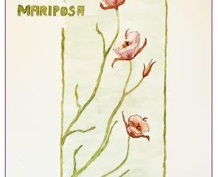 Calochortus (Mariposa lily, fairy lantern and star-tulip)