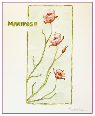 Calochortus (Mariposa lily, fairy lantern and star-tulip)