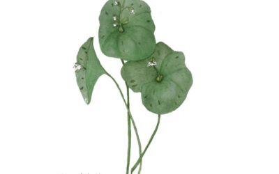 Claytonia perfoliata (Miner's Lettuce)
