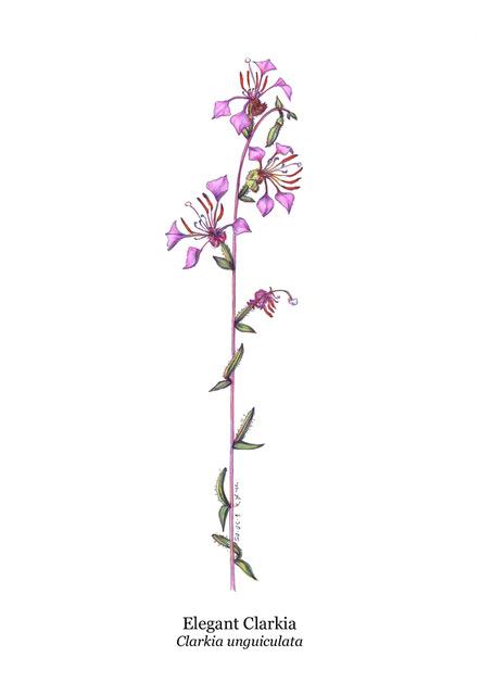 Clarkia unguiculata (Elegant Clarkia)
