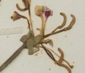 C. tembloriensis