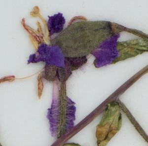 C. unguiculata