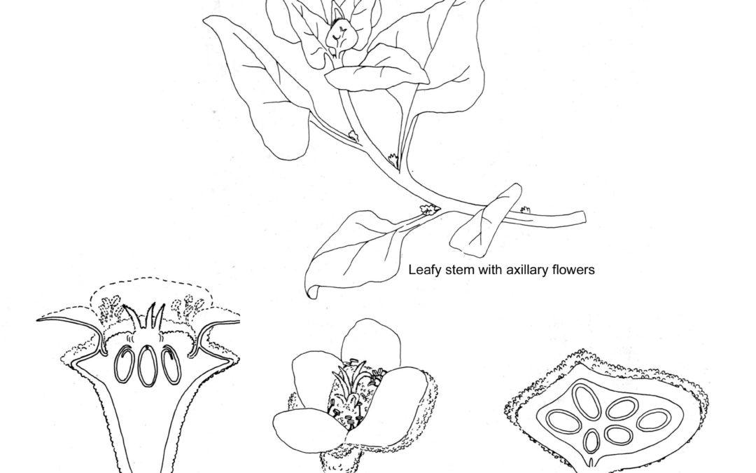 Tetragonia tetragonoides (New Zealand Spinach)