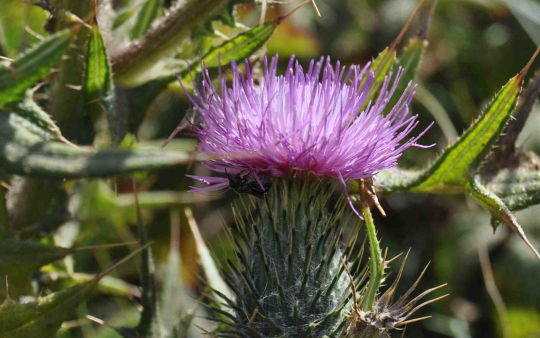 Invasive Species Report: Bull thistle Cirsium vulgare
