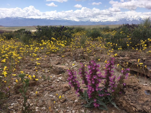 Chapter Meeting: Discovering Mono County Plants