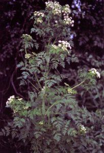 Poison-hemlock Conium maculatum
