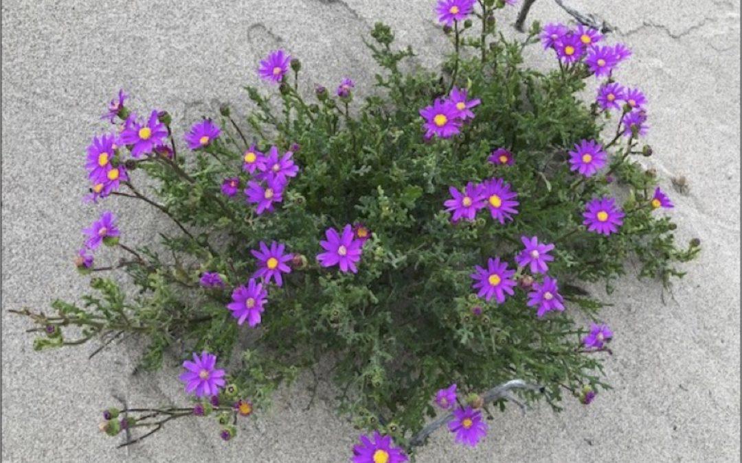 Invasive Species Report: Purple Ragwort (Senecio elegans)