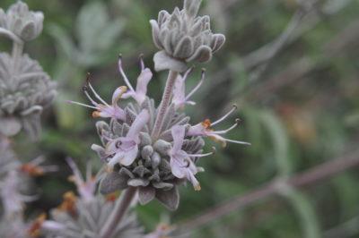 Salvia leucophylla c.David Chipping