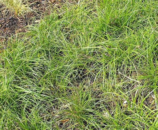 Carex_panza image