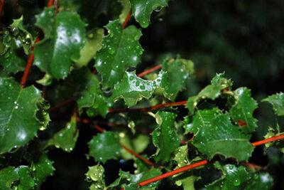 Prunus_ilicifolia_c_Bri Weldon