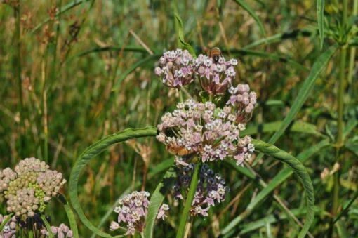 Asclepias fascicularis Narrow Leaf Milkweed