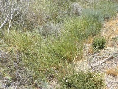 Lymus (Elymus) triticoides c. CNPS-SLO