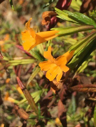 Mimulus (Diplacus) aurantiacus
