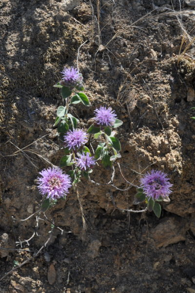Monardella villosa var. obispoensis c. CNPS-SLO