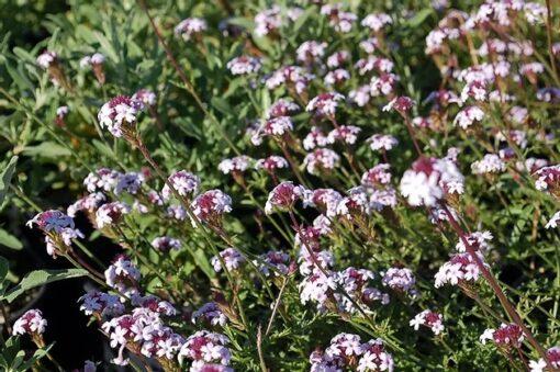 Verbena lilacina Rancho Paseo 2 Clearwater Color