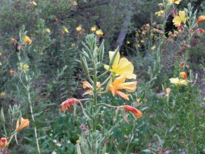 Oenothera_elata c Calscape