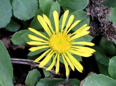 grindellia camporum