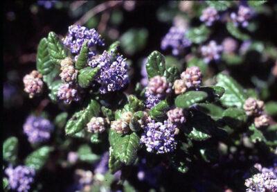 Ceanothus heastiorum
