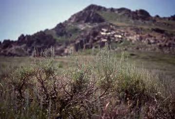 Artemisia tridentata ssp. vaseyana, mountain big sagebrush