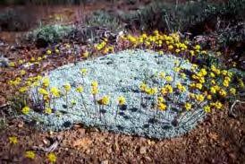 Eriogonum caespitosum, matted buckwheat